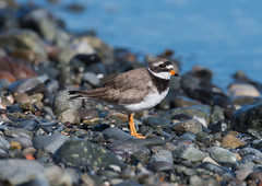 Ringed Plover 2018-6044 (seandarcy2) Tags: waders birds plover little mull