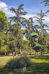 Quaker Parrots Invade Madrid Parks (fesign) Tags: animalsinthewild wildlife bird colourimage monkparakeet nature nopeople parakeet travel park tree madrid spain quakerparrot invation