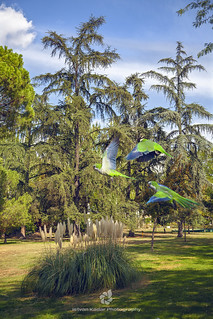 Quaker Parrots Invade Madrid Parks