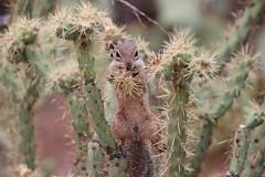 29/365/3681 (July 10, 2018) - Harris's Antelope Squirrels - Desert Botanical Gardens (Phoenix, Arizona - July 10th and 11th, 2018) (cseeman) Tags: desertbotanicalgardens dbg desertbotanicalgardensphoenix botanicalgardens publicgardens gardens succulents cactus phoenix arizona sonorandesert desert plants trees flowers arid barbie2018 dbg2018 wildlife wildlifeatdbg squirrels squirrelsofarizona harrissantelopesquirrels harrisantelopesquirrels antelopesquirrel antelopegroundsquirrel groundsquirrel 2018project365coreys yearelevenproject365coreys project365 p365cs072018 356project2018