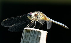 Dragon_Fly_DSC04306 (mike_feldman) Tags: dragonfly sidelit macro insect
