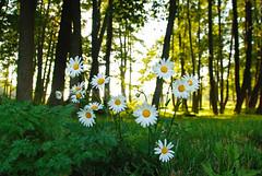 July flowers (Basse911) Tags: blommor flowers kukkia kapellhamnen kappelisatama chapelharbour summer sommar kesä july juli heinäkuu hangö hanko finland suomi nordic