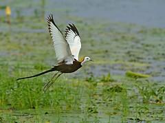Pheasant Tailed Jacana (Venugopal Bsnl) Tags: venugopalbsnl serilingampally pheasant jacana images googleimages nikon