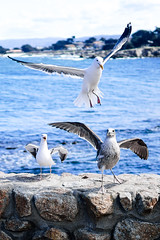 Landing (kevinpsiu) Tags: pacificgrove california unitedstates us seagull bird wing flight