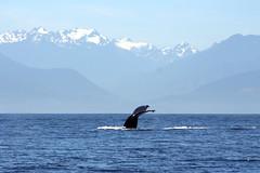 Humpback fluke (astro@spaceboyz.net) Tags: ocean sea mountains blue whale humpback