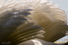 Feathers (Photography - KG's) Tags: wildlife feathers swan nature bird birds animals summerleys reserve