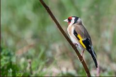 07-8503298 (fix.68) Tags: chardonneret oiseau