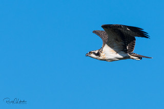 Osprey of the Jersey Shore   2018 - 37