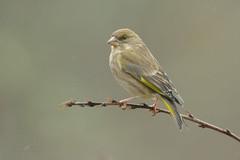 Verdone F. (mauro.santucci) Tags: verdone chlorischloris fringillidi passeriforme uccelli uccello bird avifauna natura birdwatching wildlife wild