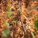Bruine glazenmaker (Aeshna grandis) (Frans in de Natuur) Tags: onlanden