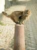 En equilibrio (Adri T fotografías) Tags: cat gato calle street estocolmo suecia streetphoto fotografíademascotas mascotas mascota nikon nikkor