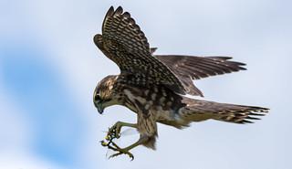 Merlin hunting dragonflies