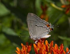 Gray Hairstreak (Strymon melinus) (AllHarts) Tags: grayhairstreakstrymonmelinus spac hollyspringsms naturesspirit thesunshinegroup butterflygallery coth ngc coth5
