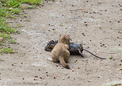 Stoat with Water Vole 2 (ian._harris) Tags: nikon d7200 naturaleza nature sigma 500mmf45 naturephotography natural fowlmere flickr cambridgeshire