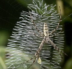 silver garden spider (watts_photos) Tags: spider spiders arachnid garden nature macro white black web silver zigzag webs argiope orbweavers orb weaver weavers