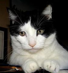 """Ozzy"" (EcoSnake) Tags: ozzy cats friends pets future worldpolitics"