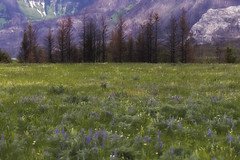 Rebirth (charhedman) Tags: watertonpark alberta forestfire ablaze laotzu wildflowers burnedtrees mountains fieldofflowers newlifefromold