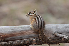 Chipmunk (Hammerchewer) Tags: chipmunk animal wildlife outdoor yellowstone