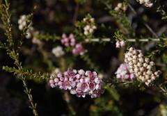 Scholtzia involucrata, Jandakot Regional Park, near Perth, WA, 01/03/18 (Russell Cumming) Tags: plant scholtzia scholtziainvolucrata myrtaceae jandakotregionalpark perth westernaustralia