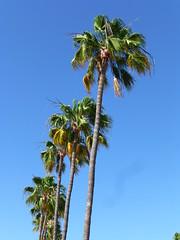 Palm trees (skumroffe) Tags: trees träd tree playadelinglés grancanaria islascanarias kanarieöarna spain spanien relaxialosgirasolesbungalows losgirasoles bungalows españa palmer palmtrees
