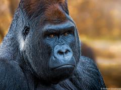 Golden (Robert Streithorst) Tags: alpha cincinnatizoo gorilla jomo leader male robertstreithorst silverback zoosofnorthamerica