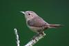 House WrenA53F2078 (~ Michaela Sagatova ~) Tags: dundasvalley birdphotography canonphotography housewren michaelasagatova wren