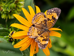In the Butterfly Garden - 3 (Wade Hooper Photos) Tags: closeupphotography macrophotography butterfly silverycheckerspot flowers wadehooperphotography insect butterflygarden nativeplant tennessee timberlandpark leaves bloom blooms