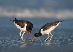 Feeding time (nikunj.m.patel) Tags: americanoystercatcher nature wild wildlife shorebirds chick bird birds avian nikon naturephotography water beach