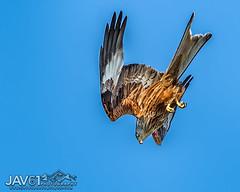 Ready for the kill, Red kite-Milvus milvus-0010 (George Vittman) Tags: bird prey dive food kite harewood nikonpassion wildlifephotography jav61photography jav61 fantasticnature