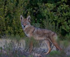 Ole Wile e Cyote (sharp shooter2011) Tags: coyote