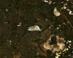 Mayfly, Blaen Bran Reservoir, Upper Cwmbran 22 July 2018 (Cold War Warrior) Tags: blaenbran mayfly reservoir cwmbran ephemeradanica