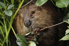 Mama Beaver (Photocatvan) Tags: vancouver falsecreek urbannature urbanwildlife beaver