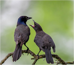 """Feed Me Now!"" (Summerside90) Tags: birds birdwatcher commongrackles june spring backyard garden nature wildlife ontario canada"