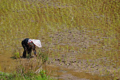 Rao-Rao Batusangkar - Granny Plants the Rice (Drriss & Marrionn) Tags: travel sumatra asia raoraobatusangkar people riceworker granny ricefield rice outdoor grandma indonesia southeastasia