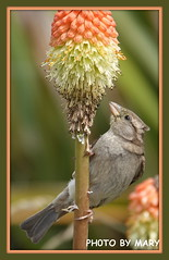 Sparrow (maryimackins) Tags: sparrow eastbourne wildlife red hot poker mary mackins
