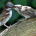 Young House Sparrow being fed