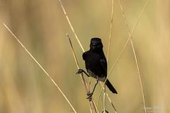 Pied Bush Chat Chirp (PB2_2723) (Param-Roving-Photog) Tags: pied bushchat bird wildlife nature safari jungle forest grass grassland birding birdphotography wildlifephotographer perch chirping naturallight nikond7200 tamron150600