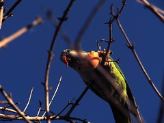 Loro (jeza.n) Tags: animal comiendo loro cata