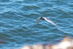 Sterna Paradisea (eygloaradottir) Tags: 2018 sternaparadisea eyrarbakki fuglar júní þernuætt fuglaráflugi sumar iceland