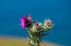 Purple, Green, Blue (Peaf79) Tags: purple thistle flower weed sea branscombe devon blue green plant nature england