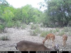 2018-06-24 07:48:37 - Crystal Creek 1 (Crystal Creek Bowhunting) Tags: crystal creek bowhunting trail cam