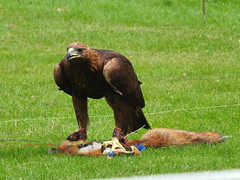 Golden Eagle with lure (not real) DSCF3687 (SierPinskiA) Tags: ruffordabbeycountrypark rufford knightsofnottingham fujixs1 jousting medieval horse knights goldeneagle falcon