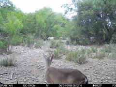 2018-06-24 08:12:14 - Crystal Creek 1 (Crystal Creek Bowhunting) Tags: crystal creek bowhunting trail cam
