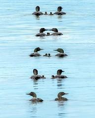 Loons (vaibhav.pandeys) Tags: loons natgeowild canada ducklings ducks outdoors water woods travel alberta nikon nature wildlifephotography wildlife wild birdphotography birds
