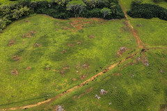 Kauai Heli Tour 39 _ Cattle (lycheng99) Tags: cattle kauai helicopter maunaloahelicopter maunaloahelicoptertours green meadow aerialview aerial tropical hawaii travel island landscape nature livestock animal wildlife