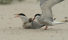 Common tern (suraj.ramamurthy) Tags: nikkor500mm nikond500 longislandbeaches commontern