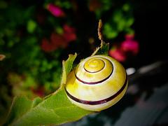 Slug (PinoyFri) Tags: snailshell ốcvỏ улиткаоболочки caracolshell hilahilangakabhang 蝸牛殼 sneglehus kotilonkuori coquilledescargot σαλιγκάρικέλυφοσ lumaca カタツムリの殻 escargot 달팽이 slug limace