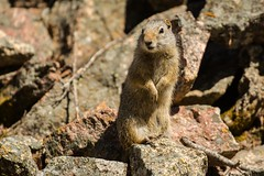 Standing tall (ChicagoBob46) Tags: uintagroundsquirrel groundsquirrel squirrel yellowstone yellowstonenationalpark nature wildlife coth5 ngc npc