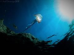 Jelly skies (Niall Deiraniya Underwater Photography) Tags: jellyfish jelly sunlight sunburst wideangle