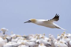 Alcatraz al vuelo (Tabernilla (David Izaguirre)) Tags: alcatrazcomun animales aves europa gannet irlanda salteeisland